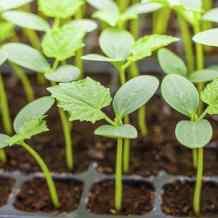 Выращивание рассады огурцов: посев, уход, высадка на грядку