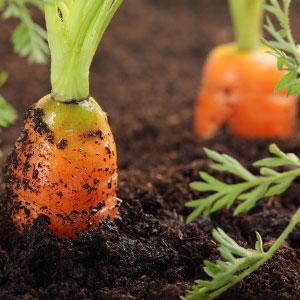 Сорта моркови устойчивы к морковной мухе