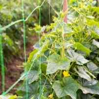 Повышаем урожайность огурцов: особенности выращивания на шпалере