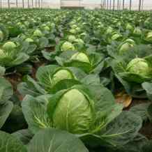 Выбираем семена капусты: лучшие сорта для раннего потребления, для квашения и хранения