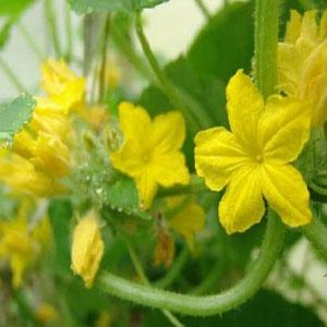 Почему на огурцах не растут завязи: причины пустоцвета