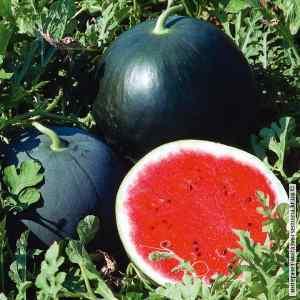 Семена арбуза Огонек (весовые)