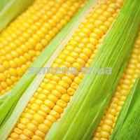 Семена кукурузы Солонянский 25 кг.