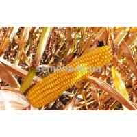 Семена кукурузы Солонянский 0.8 кг.