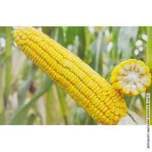 Семена кукурузы Днепровская 257 СВ