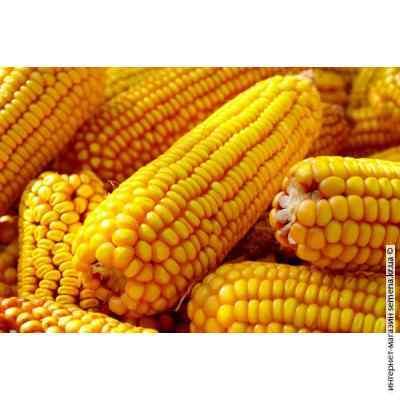 Семена кукурузы Харьковская (25 кг)