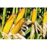 Семена кукурузы Кадр 0.8 кг (фасовка)
