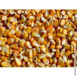 Семена кукурузы Любава 0.8 кг (фасовка)