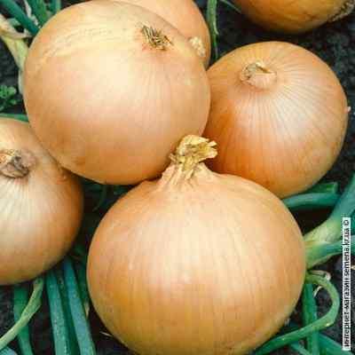Семена лука Румба, фракция 1 (Украина) (14 кг)