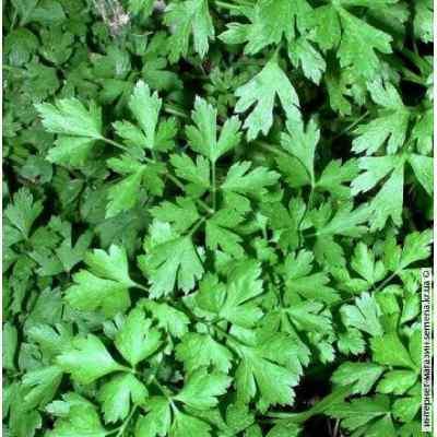 Семена петрушки Листовая (весовая)