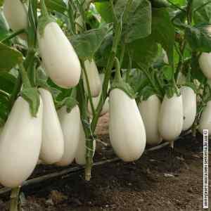 Семена кабачков Бибо белый цилиндрический F1 15 шт Seminis (Голландия) (10шт/уп)