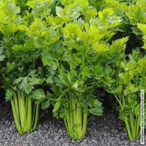 Семена сельдерея Листовой 0.5 г. Кращий Урожай