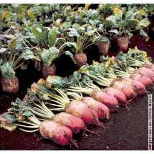 Семена свеклы кормовой Рекорд (красный) (25кг/меш)