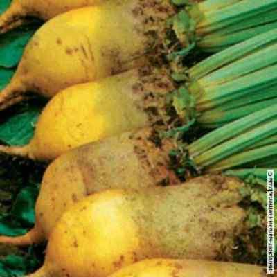 Семена свеклы кормовой Урсус (желтый) 0.200 кг