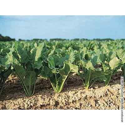 Семена свеклы кормовой Рекорд (красный) 0.200 кг