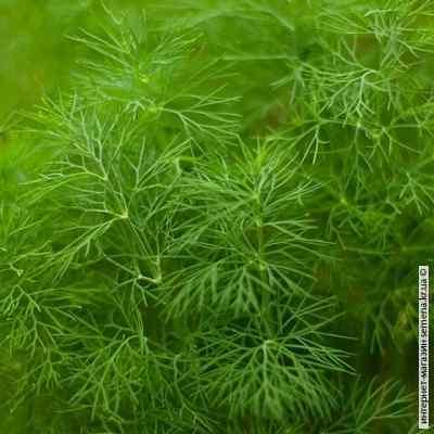 Семена укропа Лесногородский (весовой)