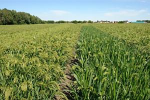 Купить семена суданки в Украине