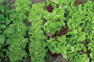 Купить семена зелени