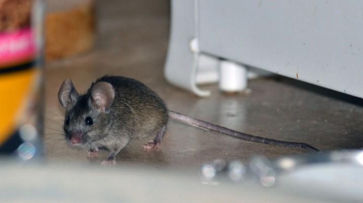 отравленное зерно для мышей