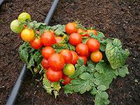 Семена низкорослых томатов в Украине