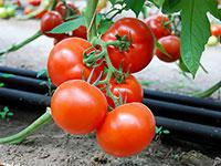 Семена низкорослых помидоров оптом