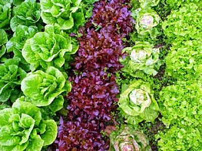 семена салата в Украине